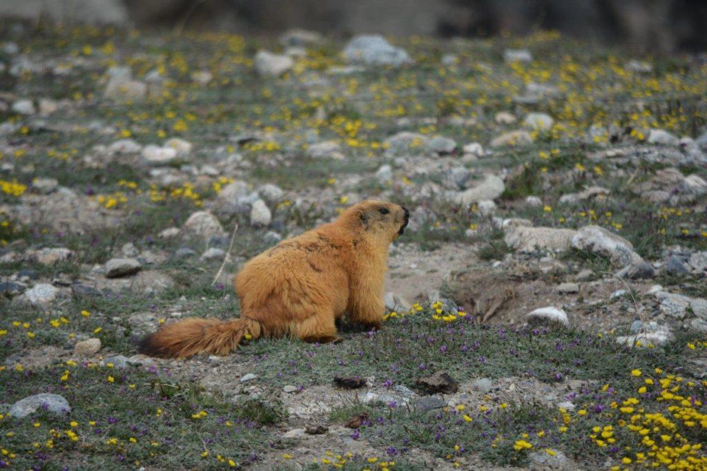 Marmot Animal